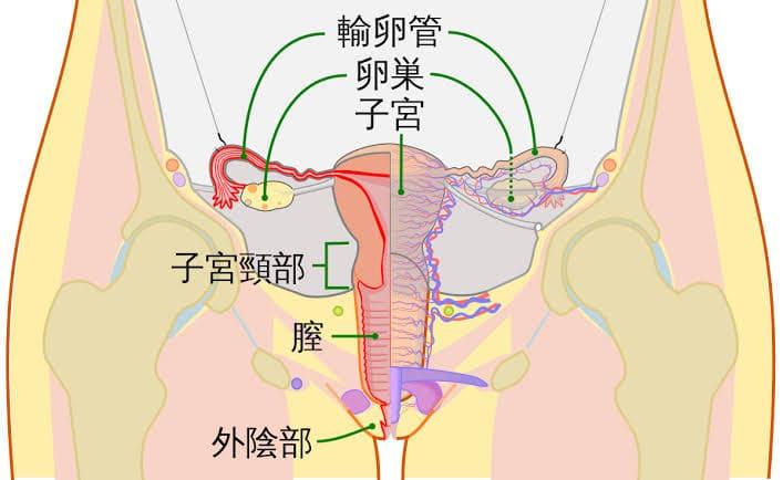 女性の子宮周辺見取り図